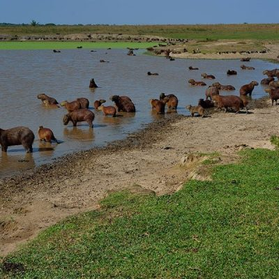 co-llanos-orientales-capibaras